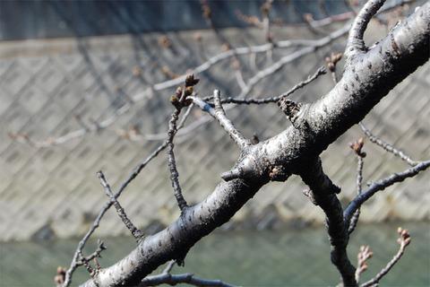 07桜は蕾.JPG
